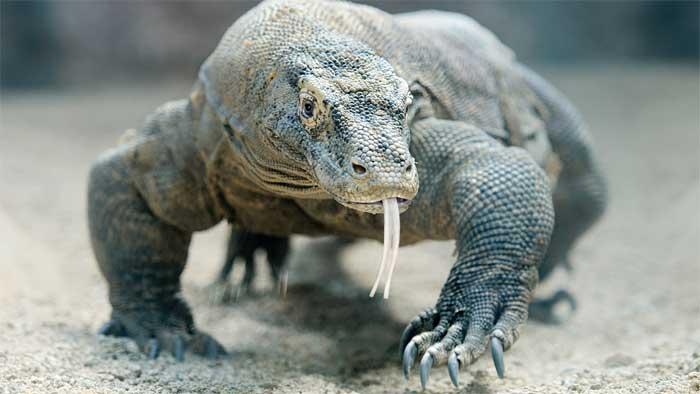 Dragón de Komodo inspiró a King Kong