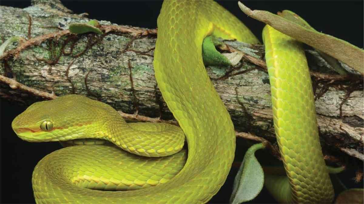 Un tipo de serpiente llevará el nombre de un personaje de Harry Potter