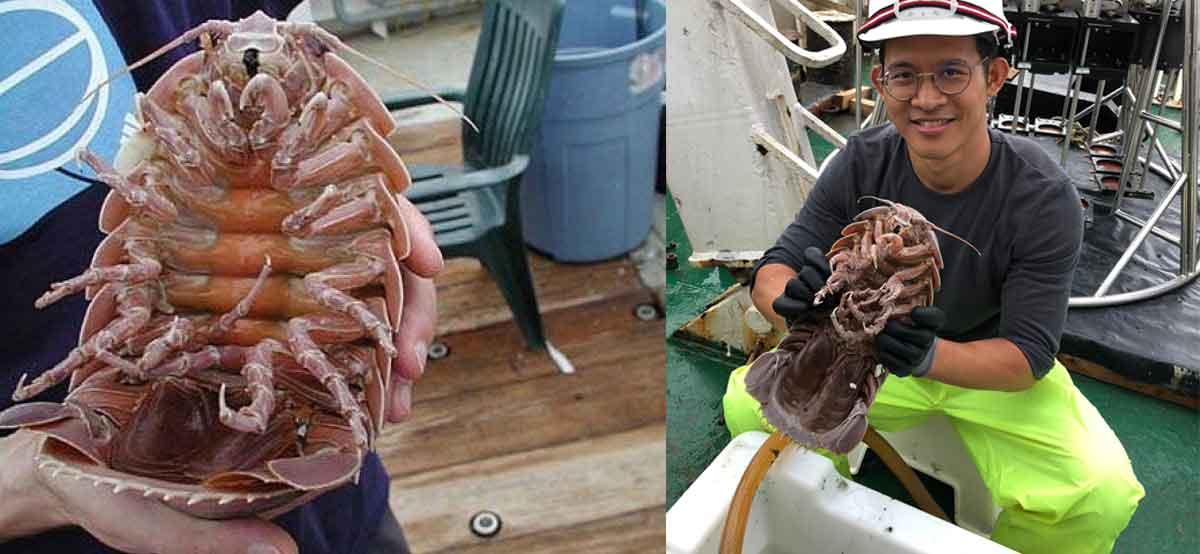 Descubren una cucaracha gigante marina que merece su propia película de terror